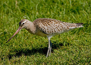Bar-Tailed Godwit in winter Plumage pale bill
