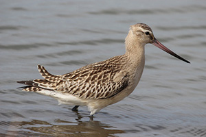 Bar-Tailed Godwit in typical winter plumage