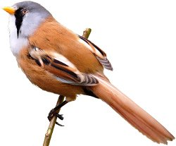 Key identification points of the Bearded Tit