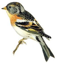 Identification points of a Brambling