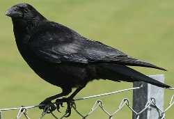 Adult Carrion Crow