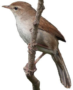 Cetti's Warbler points of identification