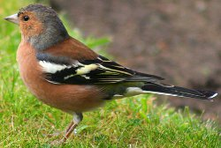 Key identification points of a Chaffinch