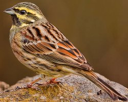 Cirl Bunting in winter plumage