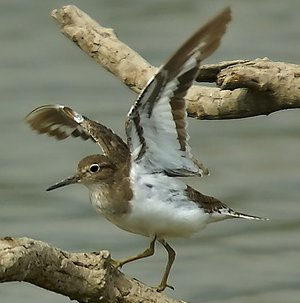 Common Sandpiper showing underwing