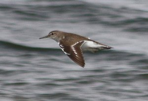 Common Sandpiper wing bar