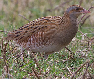 Corncrake male and female