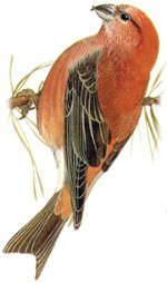 Identification points of a Common Crossbill