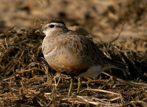 Dotterel male