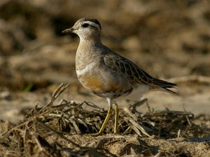 Dotterel in winter