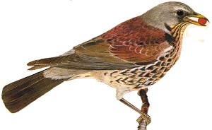 Fieldfare identification