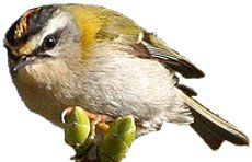 Firecrest identification points