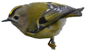 Goldcrest identification points