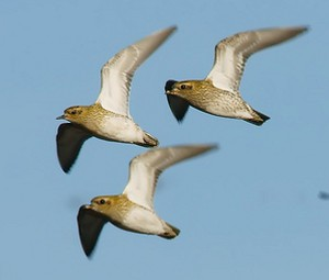 Flock of Golden Plover