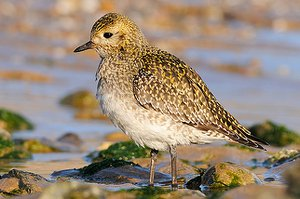Golden Plover in winter plumage