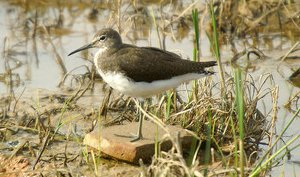 Green Sandpiper in winter plumage