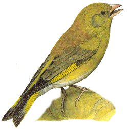 Identification points of a Greenfinch