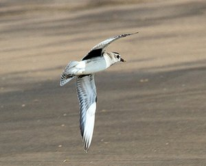 Grey Plover with black underwing