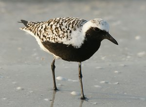 Grey Plover in summer plumage