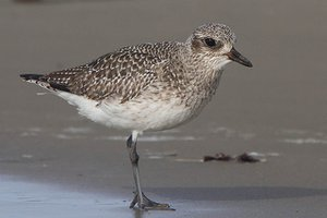 Grey Plover in winter plumage