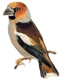 Identification points of a Hawfinch