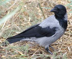 Adult Hooded Crow