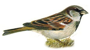 Identification of male House Sparrow