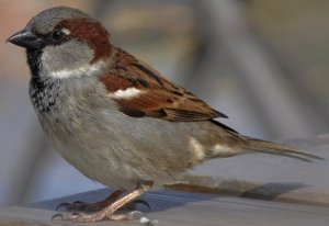 Adult male House Sparrow