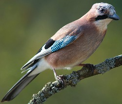 Jay in typical posture