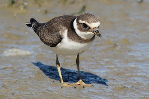 Kentish Plover male in winter plumage