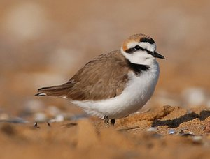 Kentish Plover male in summer plumage