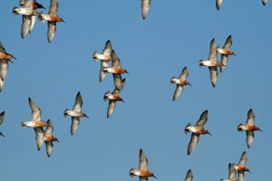 Flock of Knot in summer plumage