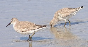 Knot in winter plumage
