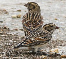 Adult Lapland Buntings in winter plumage