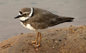 Little Ringed Plover in winter plumage