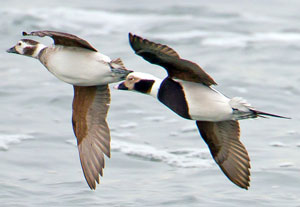 Male and Female long tailed duck flying