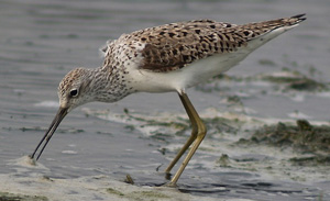 Marsh Sandpiper in summer plumage