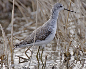 Marsh Sandpiper in winter plumage
