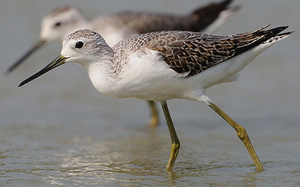 Marsh Sandpiper in moult