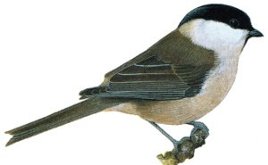 Key identification points of the Marsh Tit