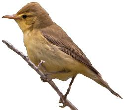 Melodious Warbler identification points
