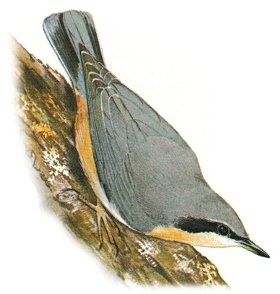 Nuthatch identification