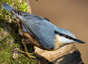 Adult Nuthatch