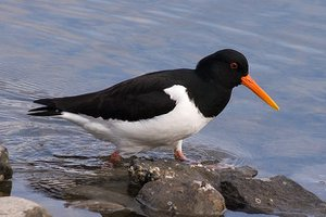 Adult Oystercatcher in summer plumage