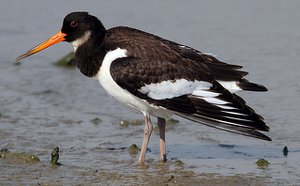 Adult Oystercatcher in winter plumage