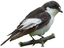 Pied Flycatcher points of identification