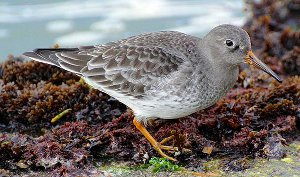 Purple Sandpiper in winter plumage