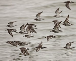 Flock of Purple Sandpiper