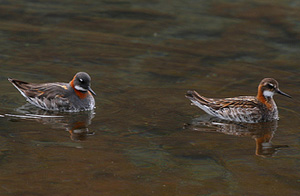 male and female Red-Necked Phalarope