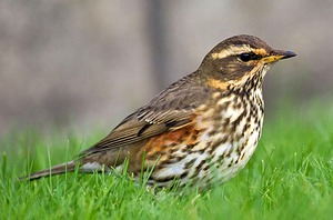 Adult Redwing